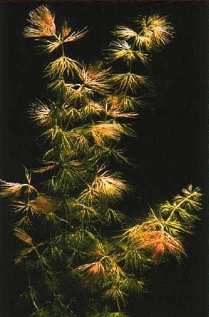 Лютик ranunculus baudotii — тоже изящное